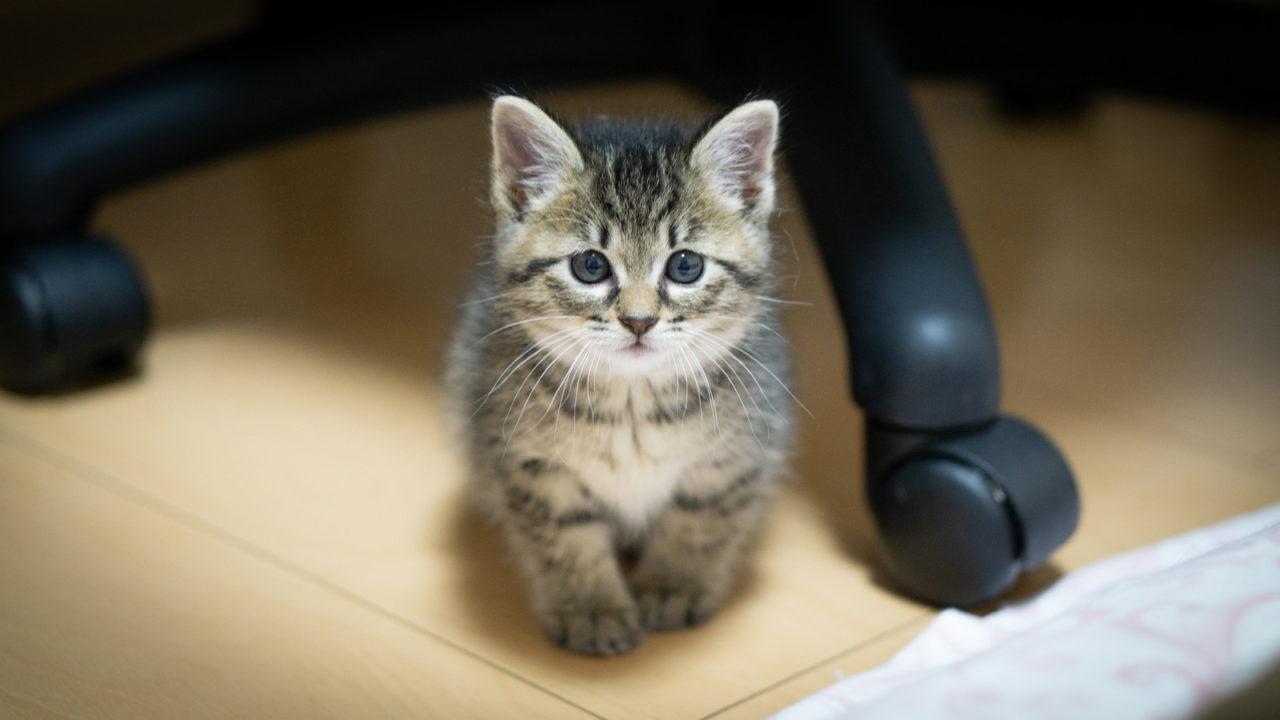 子猫 カメラ目線