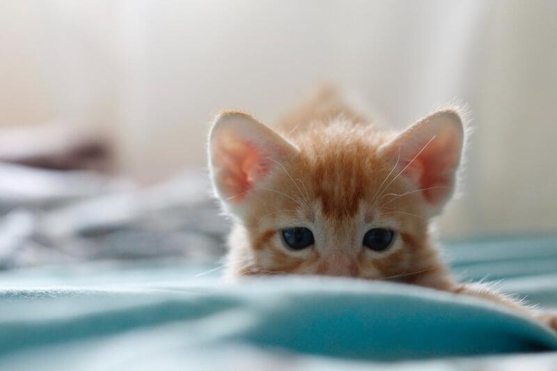 猫のゴロゴロ音が骨折に関係あるかの記事の画像